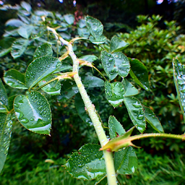 rain drops by Richard Wright - Instagram & Mobile iPhone ( rose, green, drop, rain )