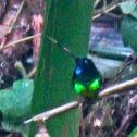 Inca de Frontino hummingbird