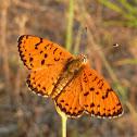 Spotted Fritillary / Crveni šarenac