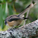 North Island Fantail