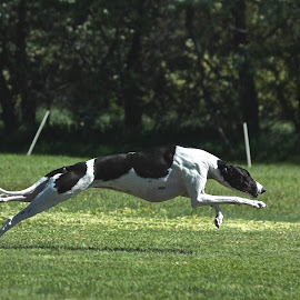 All out by Karin Bennett - Animals - Dogs Running ( dogs, greyhound, running,  )