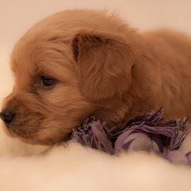 Resting by Linh Tat - Animals - Dogs Puppies ( resting, playful, alert, puppy, cute, dog, animal )