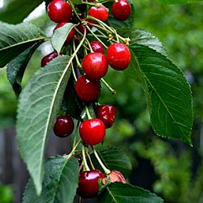 cirese by Gabriela Gabriella - Food & Drink Fruits & Vegetables ( cherry, cherry blossom )