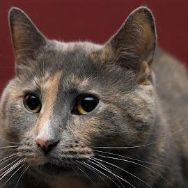 Phoebe by Pamela NavarraWilliams-Shane - Animals - Cats Portraits ( cat, big eyes, torti, cat portrait, whiskers, peach, grey, feline, close up )