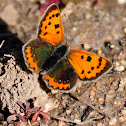 Common Copper, Manto bicolor