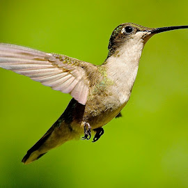 <> by Roy Walter - Animals Birds ( flight, animals, wings, wildlife, hummers, feathers, birds, hummingbirds )