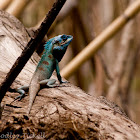 Indo-Chinese Forest Lizard