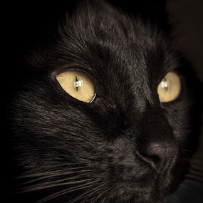 Jet Black by Darren Curtis - Animals Other ( cat, fine art photography, 2014-02 kipper cat, animal,  )