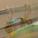 Common Green Darner dragonfly (mating pair, in tandem, oviposition)
