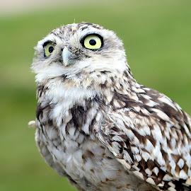 Burrowing Owl by Ralph Harvey - Animals Birds ( bird, owl, beak, wildlife, ralph harvey )