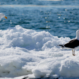 Pair of Gulls by Rob Kovacs - Novices Only Wildlife (  )