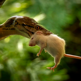 by Lim Darmawan - Animals Reptiles