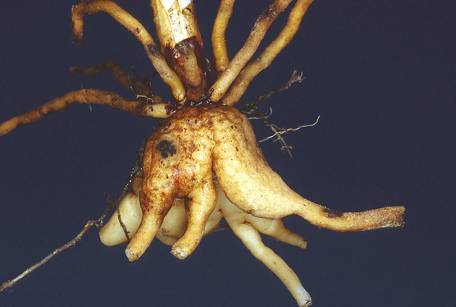 Órganos subterráneos de Dactylorhiza sp.