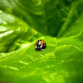 Yellow ladybug by Bogdan  Shaddix - Novices Only Macro ( macro, nature, yellow, ladybug, close )