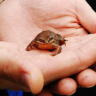 Korean Brown Frog