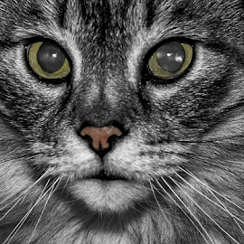 The Stare by Patricia Kousaleos - Animals - Cats Portraits ( cat, nose, animal, black&white, eyes, black and white,  )