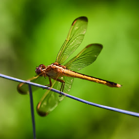 The dragonfly by Nicola Ibba - Animals Insects & Spiders ( canon 6d, 2013, nature, nicola ibba, square, dragonfly, ngc )