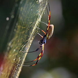 Golden-Silk Spider by Anthony Goldman - Animals Insects & Spiders ( wild, golden -silk, spider, circle b bar reserve, insect, lakeland,  )
