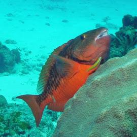 Parrot Fish by Tiffany Taylor - Animals Fish (  )