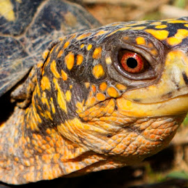 Ready for my Close Up by Jen Pezzotti - Animals Reptiles ( boxt turtle, turtle )