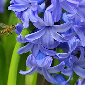 Hyacinthus Orientalis by Leka Huie - Flowers Flower Gardens ( bee, hyacinthus orientalis,  )