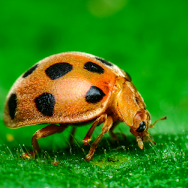 The aroma of the morning dew by Dave Lerio - Animals Insects & Spiders ( orange, green leaf, ladybug,  )