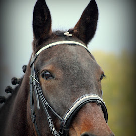 True Beauty by Ann Bøhn - Animals Horses ( looking, animals, horses, portrait, norway )