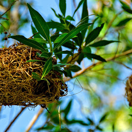 Birds Nest  by Rolex Rebadomia - Nature Up Close Hives & Nests ( nest, blue, orange. color )