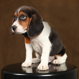 Charlie by Jon Wood - Animals - Dogs Puppies ( puppies, dogs, beagles, cute, portraits, bird, fly, flight )