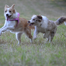 by Veerle Melkebeke - Animals - Dogs Running