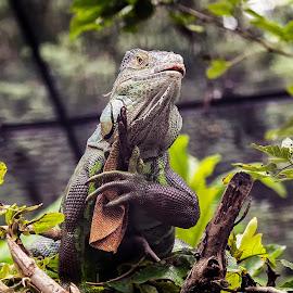 Bengal Monitor by John Hoey - Animals Reptiles ( bangalore, national park, lizard, monitor, bannerghatta, asia, india, reptile, bengal, animal,  )