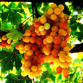 Grapes by Cengiz Tasci - Nature Up Close Gardens & Produce ( grapes, green leaves, fruits, yellow, garden )