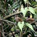 Olive Winged Bulbuls