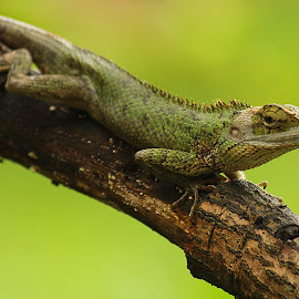 Reptiles..!! by Prithwish Mondal - Animals Reptiles