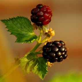 Blackberries by Peggy LaFlesh - Food & Drink Fruits & Vegetables ( ripe, blackberries, berries,  )