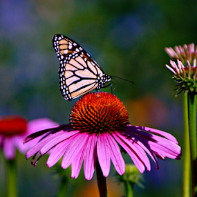 by Tina Hailey - Flowers Flower Gardens ( freedom, purple flowers, colors, tinas capture moments, butterfy, object, landscape, portrait, emotion, inspiring, free, butterflies, color, coneflowers, filter forge, inspire, inspirational, animal,  )