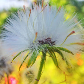 Dandelion  by Willy Widarma - Instagram & Mobile Android