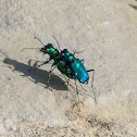Six-spotted tiger beetles (mating)