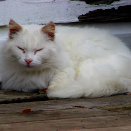 Mom's Old Cat by Christie Henderson - Novices Only Pets ( cat, white cat )