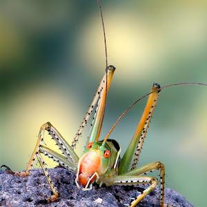 Predatory Katydid PIXOTO.jpg