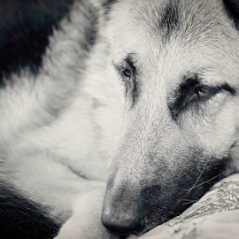 Contentment by Wendy Allport - Animals - Dogs Portraits ( loyal, germanshepherd, blackandwhite, shepherd, macro, pet, petportrait, dog, bestfriend, animal )