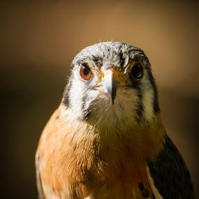 Kacey the Kestrel by Jay Huron - Animals Birds ( bird, tennessee, kestrel, casey, kingsport, animal,  )