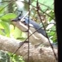 White-throated Magpie-Jay (Urraca)