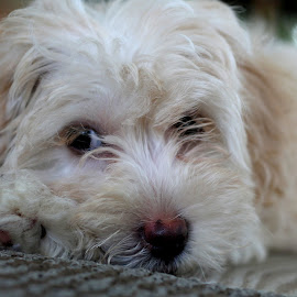 Riley by Beth Carter - Animals - Dogs Puppies ( havanese poodle mix, puppy, hava-poo )