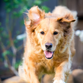 Golden by Carlos Castañeda - Animals - Dogs Playing ( sweet, playful, dog, running, golden retriever )