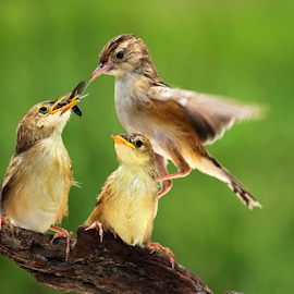 Fly & Feed by Roy Husada - Animals Birds