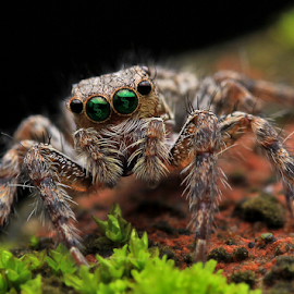 Spider by Robby Wijaya - Animals Insects & Spiders