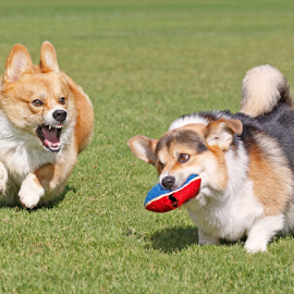 Boys will be boys by Mia Ikonen - Animals - Dogs Playing ( funny, pembroke welsh corgi, finland, running, competition,  )