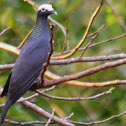 White-crowned pigeon