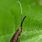 Southern longhorn moth